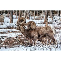ALBERTA MINISTER'S SPECIAL BIGHORN SHEEP