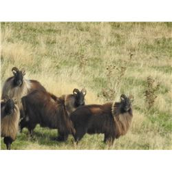 5 - DAY BULL TAHR HUNT FOR 2 HUNTERS