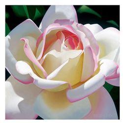 Single Cherry Parfait Rose by Davis, Brian