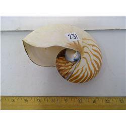 Rare Chambered Nautilus Seashell From Mariana's Trench, Guam