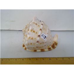 "Grade A, 6"" Diameter Helmet Conch Seashell - Collector Top Grade!"