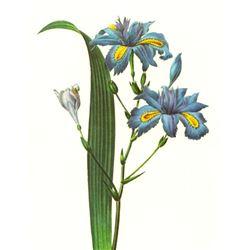 After Pierre-Jospeh Redoute, Floral Print, #58 Iris frangee (Iris)