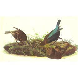 c1946 Audubon Print, #99 Cowbird