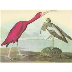 c1946 Audubon Print, #397 Scarlet Ibis