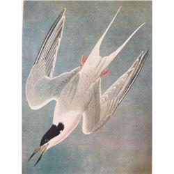 c1946 Audubon Print, #309 Common Tern