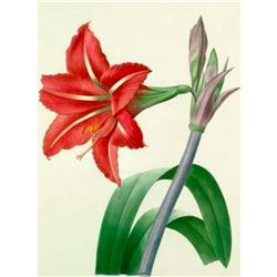 After Pierre-Jospeh Redoute, Floral Print, #4 Amaryllis bresilienne ( Amaryllis )