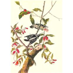 c1946 Audubon Print, #112 Downy Woodpecker