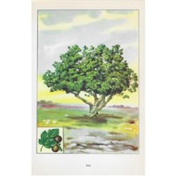 1920's Fig Tree Color Lithograph Print