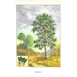 1920's Persimmon Fruit Tree Color Lithograph Print