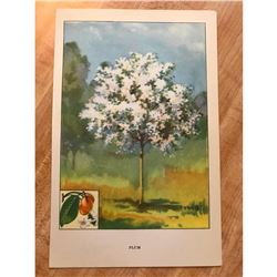 1920's Plum Tree Color Lithograph Print
