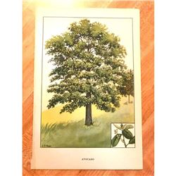 1920's Avacado Tree Color Lithograph Print