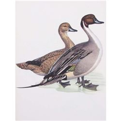 1950 Menaboni Print, Pintail Duck
