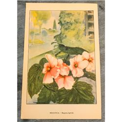 1920's Begonia Color Lithograph Print