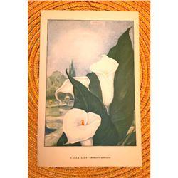 1920's Calla Lily Color Lithograph Print