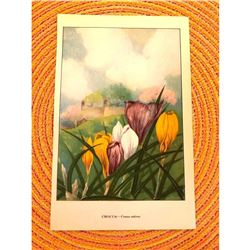 1920's Crocus Color Lithograph Print