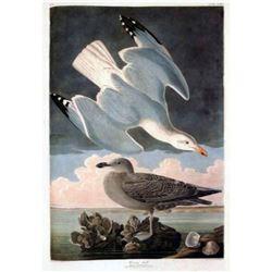 c1946 Audubon Print, #291 Herring Gull