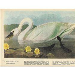 c1946 Audubon Print, #411 Whistling Swan