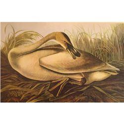c1946 Audubon Print, #376 or #406 Trumpeter Swan