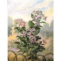 1920's Heliotrope Color Lithograph Print