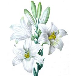 After Pierre-Jospeh Redoute, Floral Print, #76 Le Lis blanc ( White Lilly )