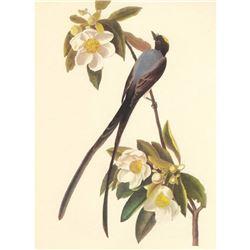 c.1950 Audubon Print, Fork-Tailed Flycatcher