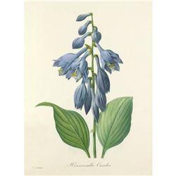 After Pierre-Jospeh Redoute, Floral Print, #53 Hemerocallis Carulea