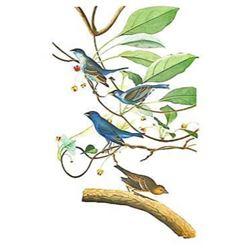 c1946 Audubon Print, #74 Indigo Bunting