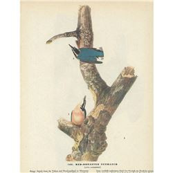 c1946 Audubon Print, #105 Red-Breasted Nuthatch