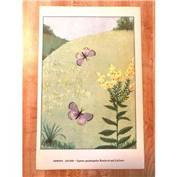 1920's Spring Azure Butterfly Color Lithograph Print