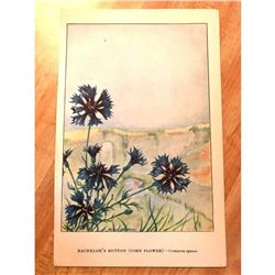 1920's Bachelor's Button ( Corn Flower ) Color Lithograph Print