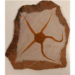 Fossil Brittle Star - Display Slab 9x9-inch  108637  (117956)
