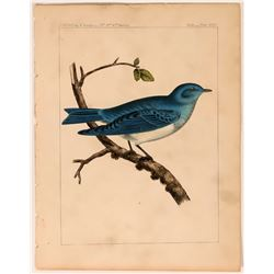 Bluebird Lithograph from USPRR Survey  (113214)