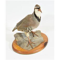Chukar Partridge Mounted on Driftwood
