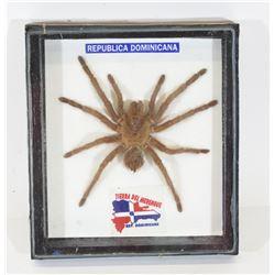 Republica Dominica Tarantula Spider Mount