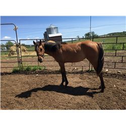Registered Quarter horse buckskin yearling filly –