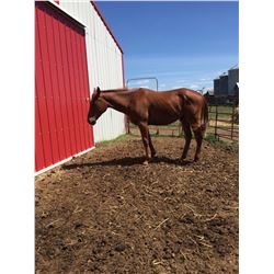 2 year old Quarter horse gelding,