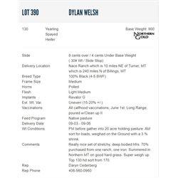 Dylan Welsh - 130 Spayed Heifers