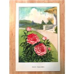 1920's Peony Color Lithograph Print