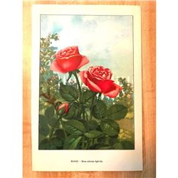 1920's Rose Color Lithograph Print