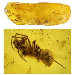 Baltic amber with preserved spider, approx. 44 million years old, from Kaliningrad, Russia.