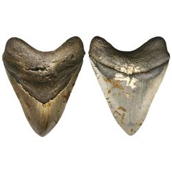 Megalodon (giant shark) tooth, approx. 3 to 15 million years old.