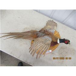 Mounted Male Pheasant
