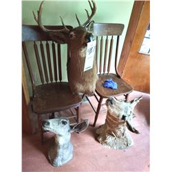 3 Shoulder Mounts: Whitetail Buck and Doe, American Pronghorn Antelope Doe