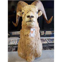 TAXIDERMY LONG HORN SHEEP HEADMOUNT