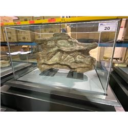 LIFE SIZE OMIESAURUS VERTEBRA IN GLASS COVERED TRANSPORT DISPLAY CASE