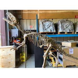 GASOSAURUS FULL SKELETON ON STEEL FRAME, THEROPOD FOUND IN CHINA FROM THE MIDDLE