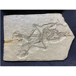 REAL CATHAYORNIS YANDICA ZHOU FOSSIL CAST