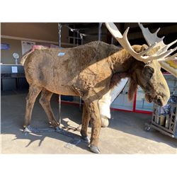 ANIMATRONIC BULL MOOSE OR ELK