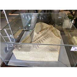 LIFE SIZE AGILISAURUS FULL SKELETON ON FOSSIL PLATE IN GLASS COVERED TRANSPORT DISPLAY CASE