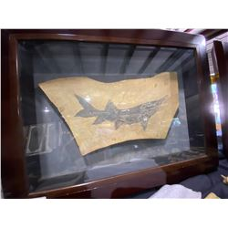FOSSIL PADDLE FISH ON ROCK IN WOODEN FRAME WITH GLASS